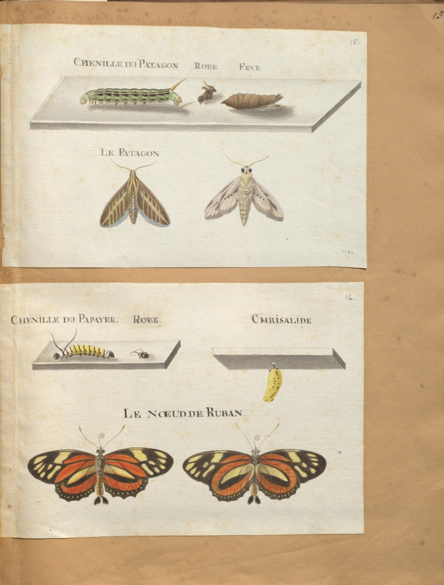 <em> Original water-colour paintings on the natural history of St. Domingo : with mo. notes.<em> (1766) de Rabié. McGill Library. Rare Books and Special Collections. Blacker-Wood Illustrations. folio M9725 R11 cutter V.4 (FRUITS).