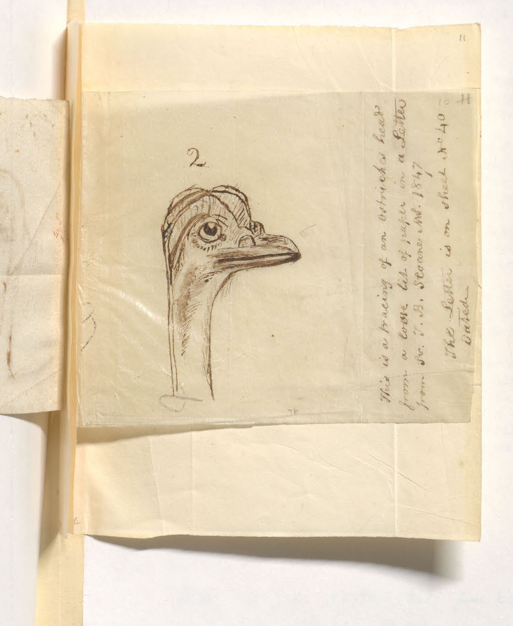 Page 41 Ostrich's head drawing. Thomas Browne, Sir. (ca.1659-1682.) Manuscripts in English, on paper. Older Library of the History of Medicine niche. folio B884m 1659-1682