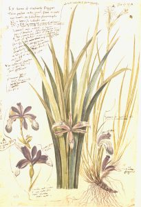 Facsimile of 16th century Iris (Iris germanica) illustration from Conradi Gesneri Historia Plantarum