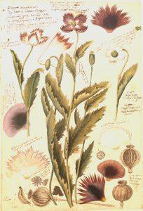 Facsimile of 16th century Poppy (Papaver Somniferum) illustration from Conradi Gesneri Historia Plantarum