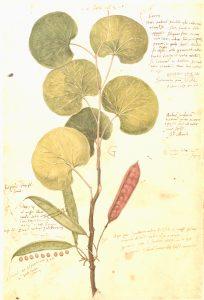 Facsimile of 16th century illustration from Conradi Gesneri Historia Plantarum