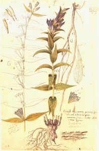 Facismile of 16th century Gentiana illustration from Conradi Gesneri Historia Plantarum