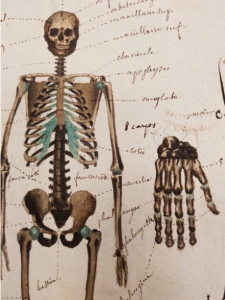 Note the fine use of colour in Ducrot's skeleton. Page 44 in Cahier d'histoire naturelle (1835-1837) : à Moulins
