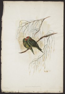 Gould watercolour VII: Little Parakeet