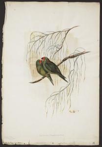 Gould watercolour VII: Little Parakeet